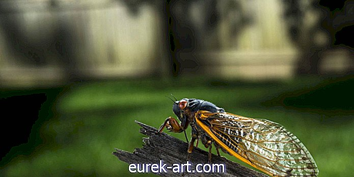 Video Hypnotizing Time-Lapse ini Menunjukkan Cicada Shedding Its Exoskeleton