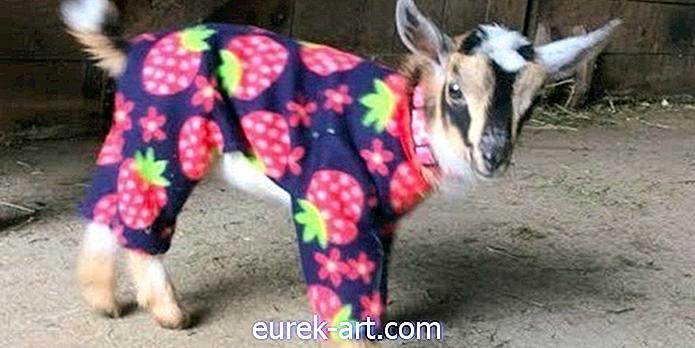 Tai oficialu - pižamose nėra nieko švaresnio už šias ožkas